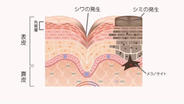 表皮と真皮の違い